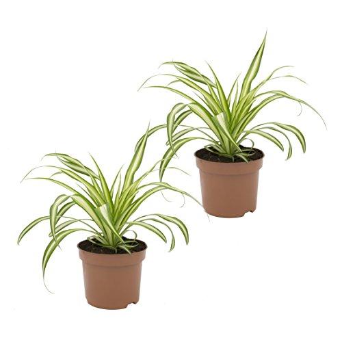 Dominik Blumen und Pflanzen, Grünlilie 'Ocean', 2 Zimmerpflanzen, gute Ampelpflanzen, 10 - 12 cm Topf
