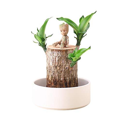 U/D Mini Brazil Lucky Wood, Hydroponik-Pflanzen, Hydroponik-Topfpflanzenstumpf, Kleine Mini-Pflanze Indoor-Office-Desktop-Pflanze, Zur LöSung Der Luft In InnenräUmen