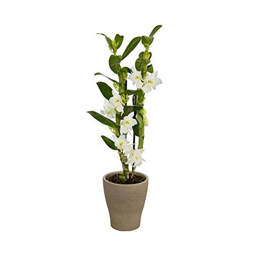 Dominik Blumen und Pflanzen, Asiatische Traubenorchidee, Dendrobium nobile, 40-50 cm hoch, 1 Pflanzen, Zimmerpflanzen