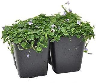 1 Cymbalaria Aequitrilobia, Mini Kenilworth Ivy, Ground Cover Plants Fresh