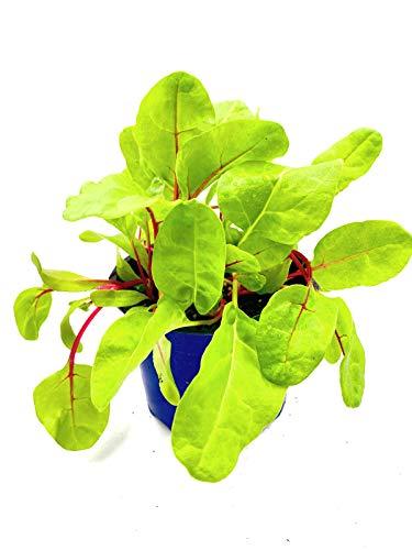 Mangold Pflanze Beta vulgaris Gemüse Pflanzen 3stk