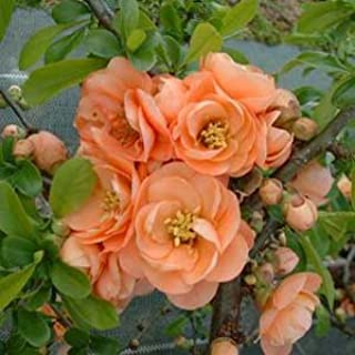 cameo quince plant