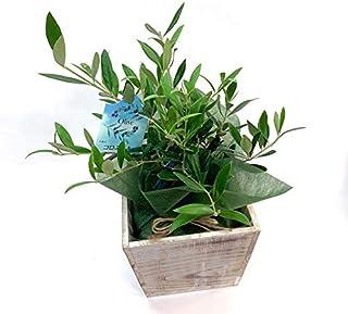 オリーブ 2品種 5号サイズ 鉢植え 木製鉢カバー付き ギフトにも人気 【観葉植物】【観葉植物 インテリア】【引越し祝い】【開店祝い】【結婚祝い】