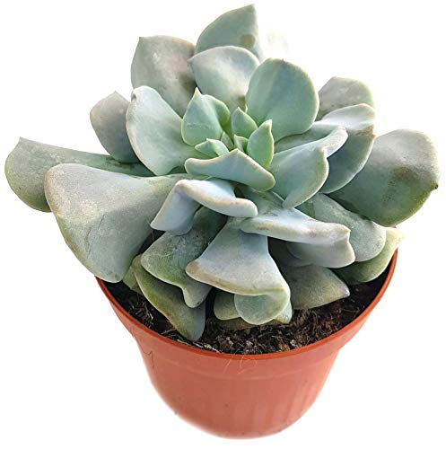 Echeveria 'Cubic Frost' - pflegeleichte Sukkulente mit Frosteffekt - sehr dekoratives Dickblatt mit grau, rosa, violetten Blättern - wundervolle Zimmerpflanze