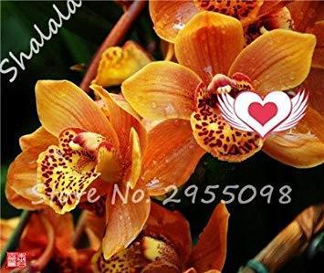A bag = 200pcs Cymbidium Orchid, Multi Color Cymbidium Orchid Plant, Bonsai Flower Seeds,Natural Growth,Plant for Home Garden 3