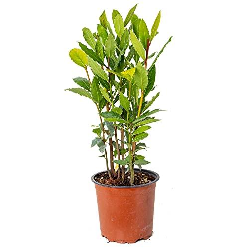 Echter Lorbeer | Laurus Nobilis - Freilandpflanze im Anzuchttopf ⌀15 cm - ↕35-45 cm