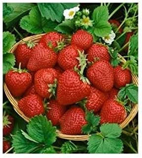 Clovers Garden Eversweet Everbearing Strawberry Plant–two (2) Live Plants – Not Seeds –Each 5