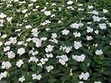 SEMI Pervinca (Bianco 100 semi) facile da coltivare