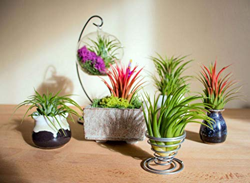 100 Air Plants Bulk | Live Tillandsia Plant Lot | Bulk Wedding小礼品| DIY派对礼品| Air Succulents Set | Box植物宠物批发