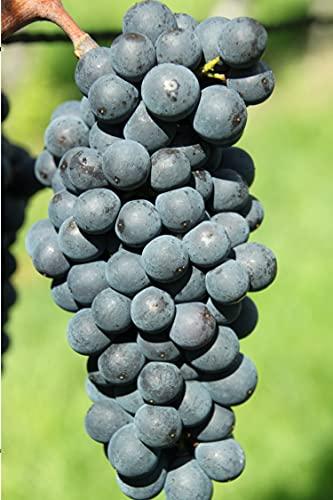 Pianta di Vite pianta di uva vigna da vino pianta di uva innestata pianta vera di vite venduta da eGarden.store (Malvasia Nera)