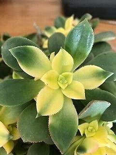 1 Variegated Aeonium Kiwi Succulent 25 Short Stem Cuttings