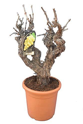 Winterharte klassische Weinrebe - Vitis vinifera - Gesamthöhe 80-100 cm - Topf Ø 37 cm