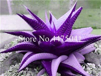 SVI Frisch 20 Stück Sukkulente Aloe...