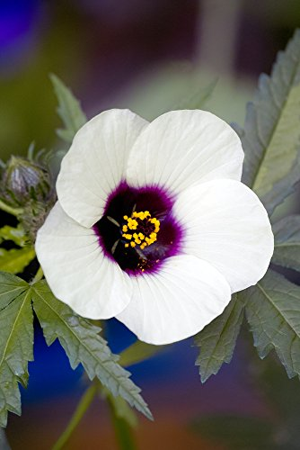 Hanf-Eibisch (Kenaf) 10 Samen Hibiscus Cannabinus