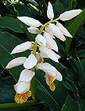 SANHOC Samen-Paket: Alpinia mutica | Klein Shell Ingwer | Falsch Kardamom | 10_Seeds