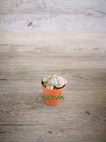 Pianta di Lithops o `Sassi Viventi` da Collezione (vaso - 5.5)