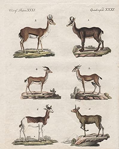 Vierf. Thiere XXXI / Quadruped. XXXI - Die Gemse - Die gemeine Gazelle - Die Korinne - Der Kevell - Der Klippspringer - Der Nanguer - Gemse Gazelle Klippspringer Antilope antelope chamois klipsp ...