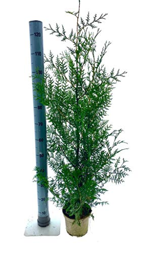 Heckenpaket Lebensbaum Thuja Brabant, 3 Liter, 100-120 cm, 7 Stück