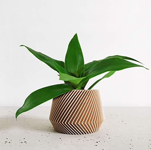 Isenzo Lebende Topfpflanze Pflanze ZIMMERPFLANZE Callisia fraLebende Topfpflanzegrans Goldbart 13 cm-Topf Topfpflanze Hängend