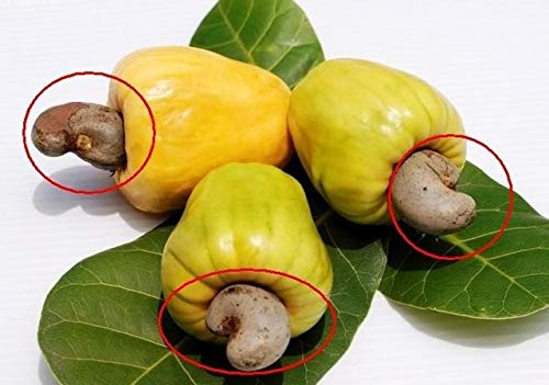 Homely Seeds 5 semi di anacardio Occidentale Tropical New Pot Seeding Gardens Miracle Fruit Seeds P: Prugna