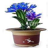 100個クンシラン属、レアレインボークンシラン属の花、庭の装飾用鉢植え専用窓枠多年生花:4