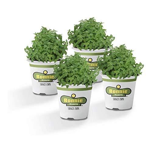 Pack de 4 Plantas de Menta en Maceta de 10cm Naturales