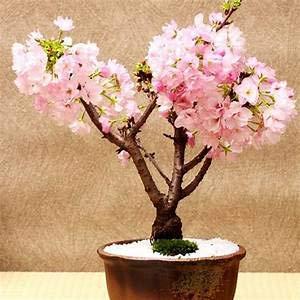 Elwyn ZLKING 20Pcs/Pack Japanese Sakura Flowers Tree Bonsai Seeds Cerasus Yedoensis Cherry Blossoms Easy to Grow Exotic Flower Plants 2