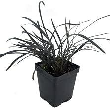 Black Dragon Mondo Grass Plants - Ophiopogon nigrescens - 4