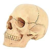 4D人間の頭蓋骨モデル、1/2ライフサイズミニチュアスカルモデルヘッドスケルトン解剖学的天然カラー、15ピース取り外し可能、教育、研究