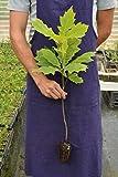 1 Pianta di Quercus Rubra 4-6 pollici ad alta Red Oak La restituzione della merce non è disponibile Vendiamo solo semi Spediamo a livello internazionale