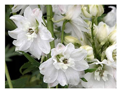 """Premier Semi diretti DEL06F Delphiniums """"Nano Fontana Magica Serie"""" semi bianchi puri (pacchetto di 50)"""