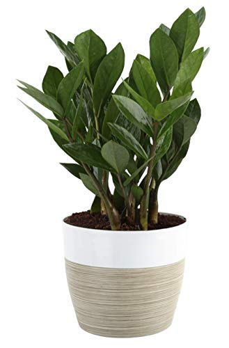 Costa Farms ZZ Zamioculcas zamiifolia, Indoor Plant, 12-Inch Tall, White-Natural Décor Planter