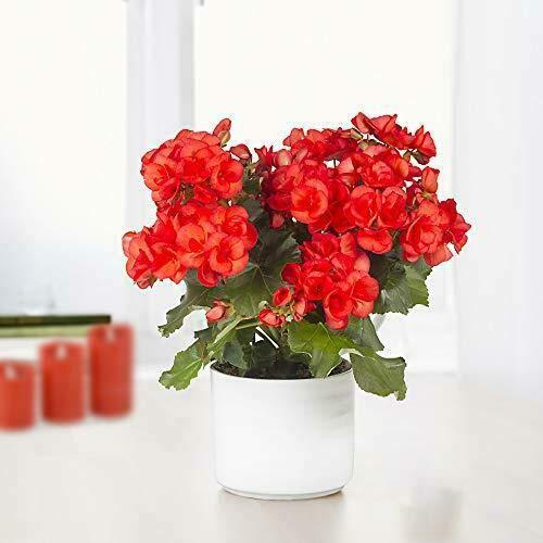 Pianta Fiori Begonia Red Big Dragon in vaso ø14 cm Decorazione Giardino Fiore