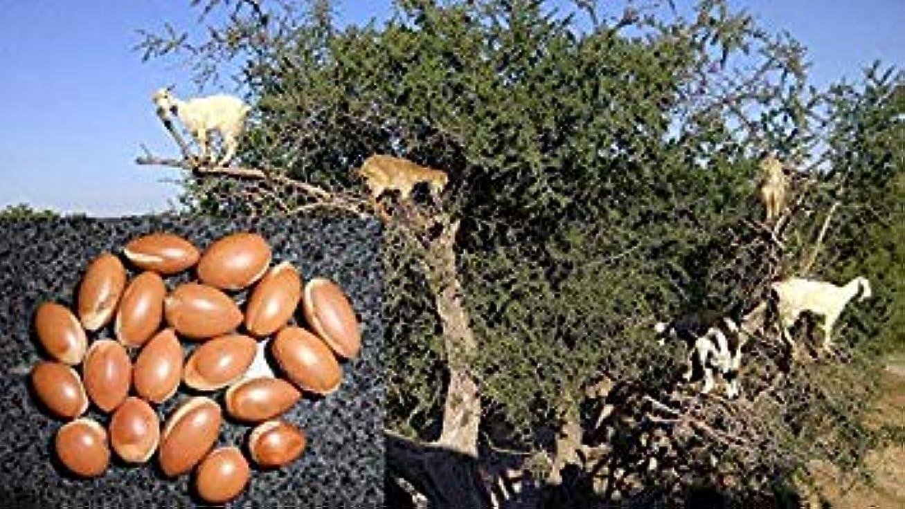 彼ゲームコモランマ発芽種子:5シード:新鮮なアルガンスピノザ種子、アルガンオイル、アルガン種子、アルガンツリー、収穫9月18日