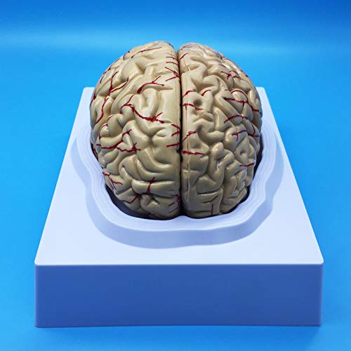 Learning Resources Human Brain Anatomical Model, Anatomically Accurate Brain Model Life Size Human Brain Anatomy for Science Classroom Study Display Teaching Model
