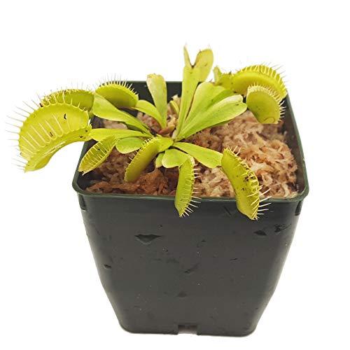 Venus Flytrap Carnivorous Plant, Dionaea muscipula, Live Arrival, Adult Plant, 3' Pot - Predatory Plants