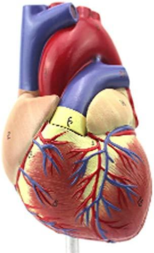 Modelo de estudio Modelo educativo 1: 1 Modelo de anatomía del corazón humano, estudio de educación de anatomía médica Modelo de corazón 2 Parte Experimental Doctor Regalo Docencia Ayuda Modelo de cor