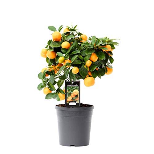 Obstpflanze von Botanicly – Calamondinorange – Höhe: 45 cm – Citrus Calamondin