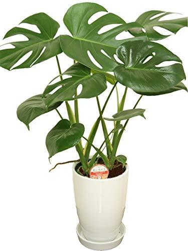 観葉植物 モンステラ 6号陶器鉢-丸-白