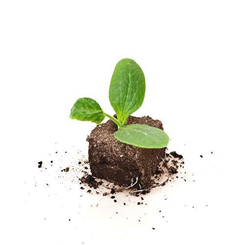 Gemüsepflanze - Zucchini / gelb - Cucurbita pepo - 1 XXL Wurzelballen