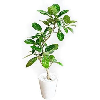 フィカス ベンガレンシス 観葉植物 本物 ホワイトセラアート鉢 ベンガルゴムの木 ベンガル ベンガルゴム ゴムの木 インテリア 8号 大型 中型