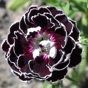 Dianthus 'Black Lace' 30 Samen - Nelke Samen
