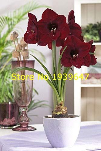 100pcs Amaryllis Bonsai Plants Hippeastrum Amaryllis Bonsai Chinese Cheap Flower Potted Plants Garden Flower Balcony : 2