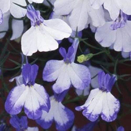 Détails sur Lobelia Seeds 50 graines multi pastillées Regatta bleu Splash Graines Trailing Lobelia