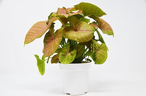 """Syngonium'草莓' - 箭头植物 - 免费护理导游 -  4""""锅 - 难以杀死"""