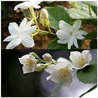 ジャスミン種 ランドスケープフラワー 自然の美 パーティーの装飾-500 個