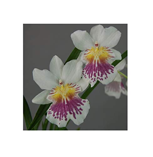 Stk - 2x Miltonia phalaenopsis Duftorchidee Pflanze Orchidee OWD133 - Seeds Plants Shop Samenbank Pfullingen Patrik Ipsa