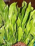 3 x Echinodorus bleheri, Aquariumpflanzen, barschfest