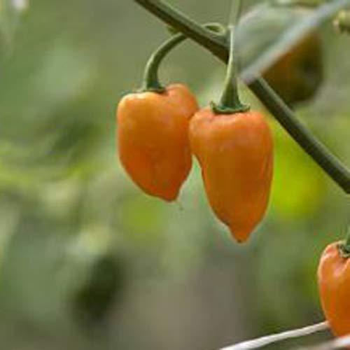 """wundervoll scharfe Habanero""""Orange"""" 25 x Samen (sehr selten und sehr teuer) aus Portugal 100% natürlich ohne chemische Anzuchthilfe oder Gentechnik, einfach nur Natur Pur !"""