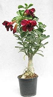 EaglesFord White Adenium Obesum Desert Rose Plant (1 Healthy Live Plant Seedling)